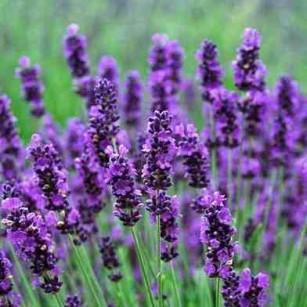 Breezy Lavender